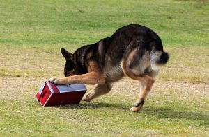22951743 - working german shepherd dog sniffing a suspecting package for drugs or explosives. note: there is motion blur in all of the dogs legs.